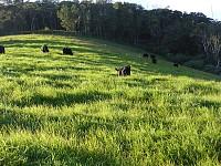 Lowline calves grazing at Cloudbreak