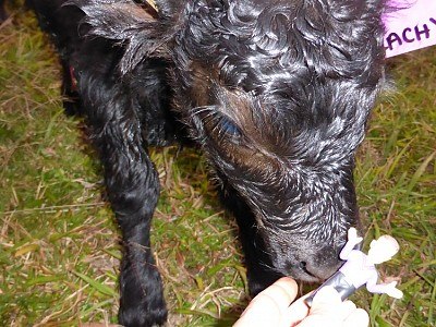 Welcome to Cloudbreak Lowlines bull calf 'Lachy'