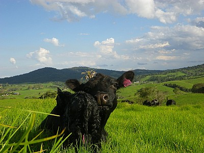 Cow and calf package